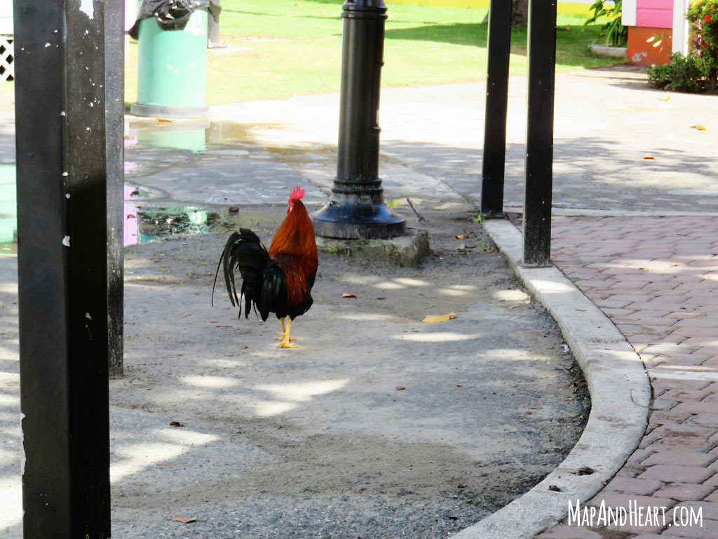 Rooster in Road Town, Tortola