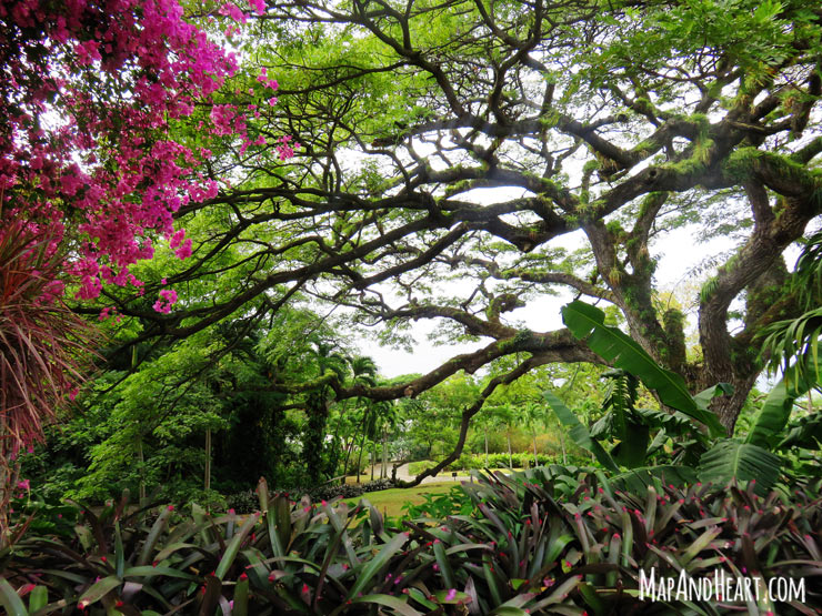 Saman tree at Romney Manor, St. Kitts